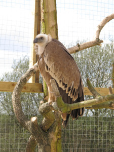 The three rare young Griffon Vultures will be living at the centre for up to three years.