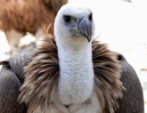The Griffon Vulture has been extinct in the UK since the 16th century.