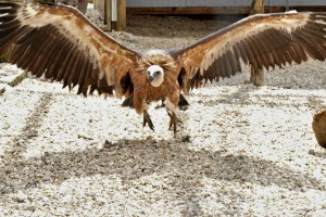 The beautiful birds can weigh between 15-20 kgs, have a wingspan of approx. 9-10 ft and can live up to 40 years.